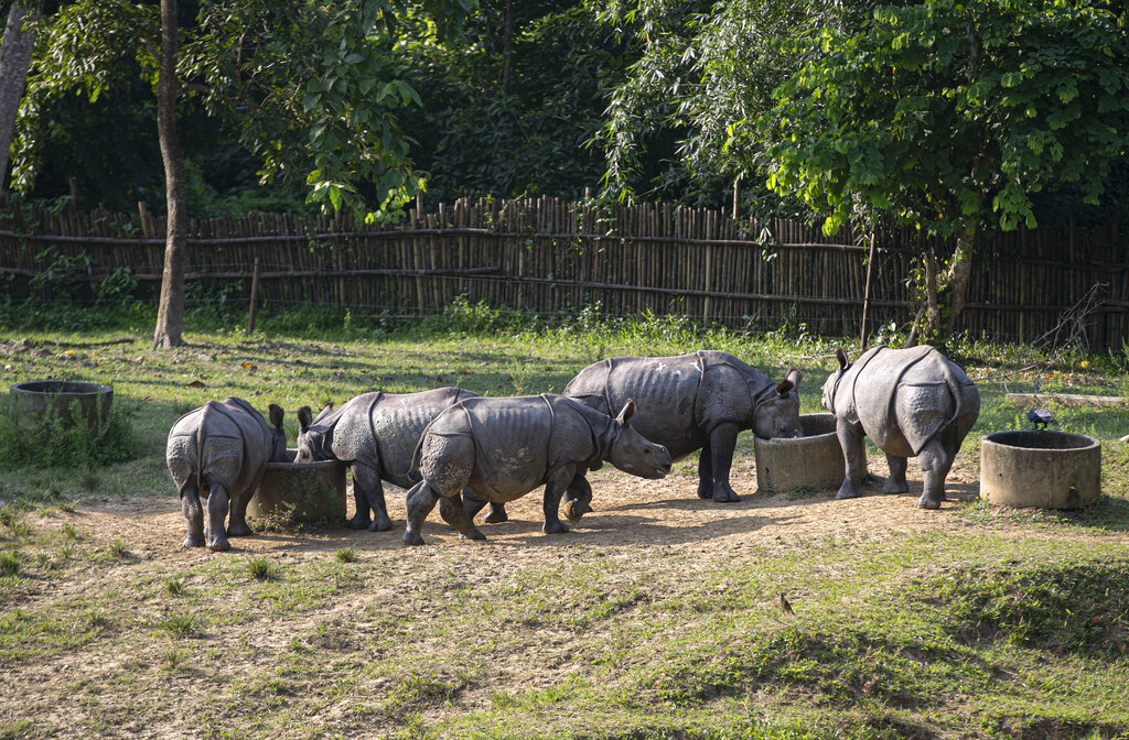 The rhino calves feed at the Centre for Wildlife Rehabilitation and Conservation (CWRC) at Bokakhat, Assam, India, Sunday, Aug. 2, 2020.
