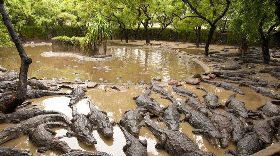 Crocodiles rest in their enclosure at the  Madras Crocodile Bank in Mahabalipuram
