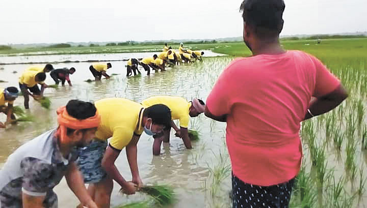 Jyotrimaya and his friends planting the paddy saplings in Mahalik's field