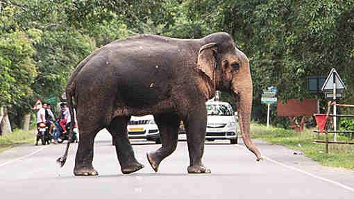 An elephant crosses a road in Golaghat.