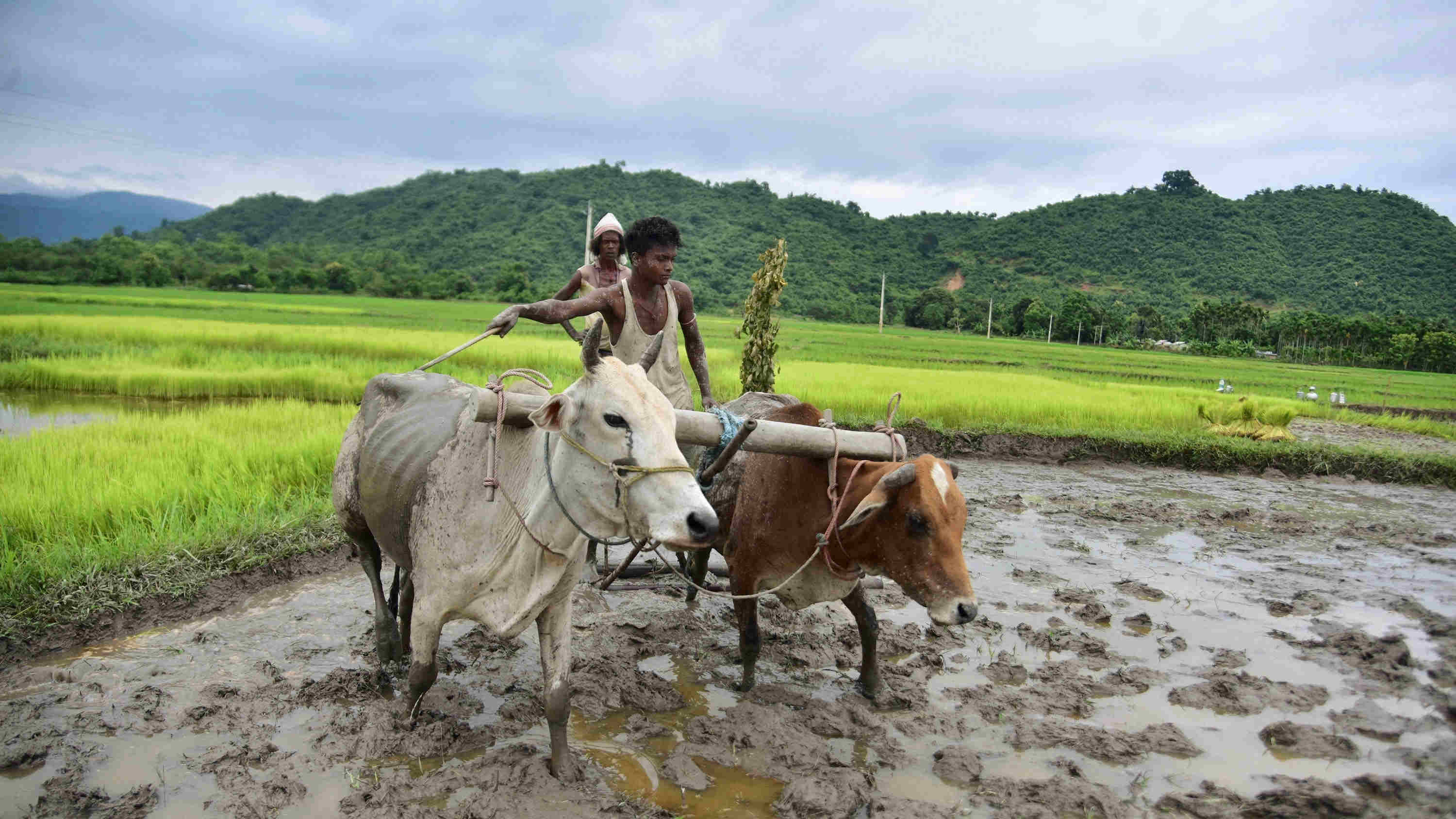 Farmers plough a field at a village, in Nagaon district, Saturday, Aug. 8, 2020.