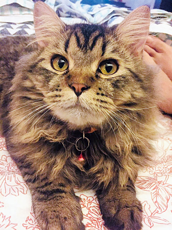 Max after Maine  Coon rescued as a kitten