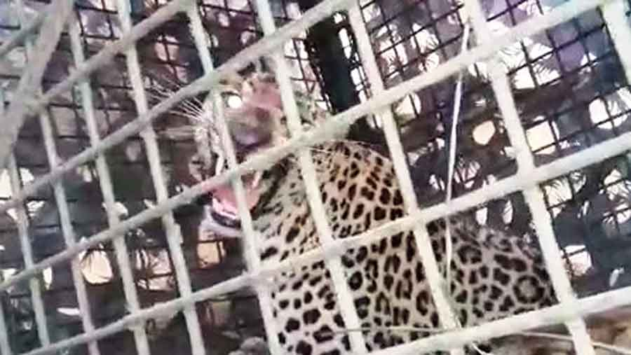 The leopard in the cage at the Bhagatpur tea estate in Jalpaiguri on Saturday