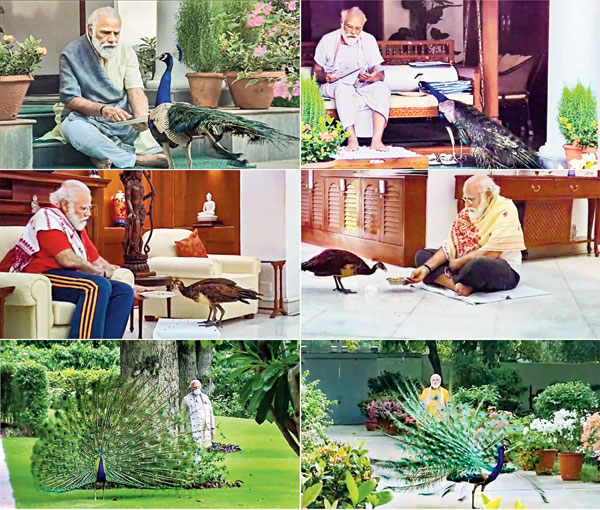 Prime Minister Narendra Modi on Sunday posted a video on his social media accounts in which he is seen feeding peacocks at his residence during his morning exercise routine.  Peacocks are often a regular companion of the Prime Minister during his exercise, PTI news agency quoted sources as saying. At his residence, Modi has placed elevated structures, often found in rural India, where birds can make their nests, they said.