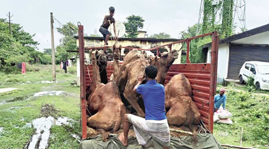Some of the camels rescued from the smugglers in Kishanganj, Bihar.