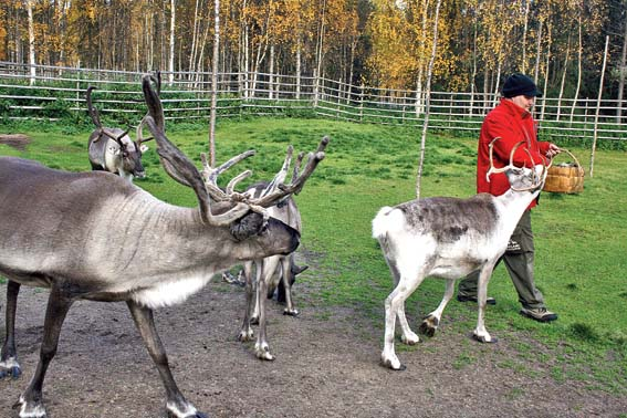 Reindeer love lichen and will not let you go till they finish off the last one in your basket