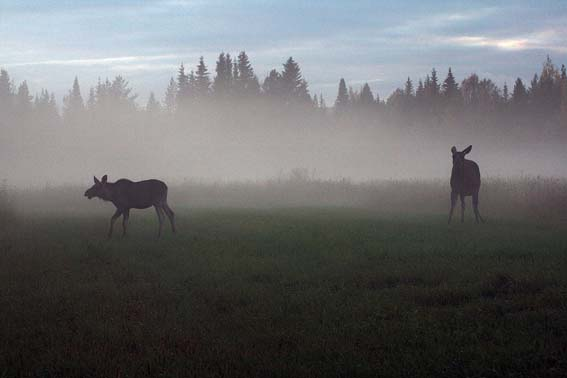 It takes a night safari to sight moose, which graze at night