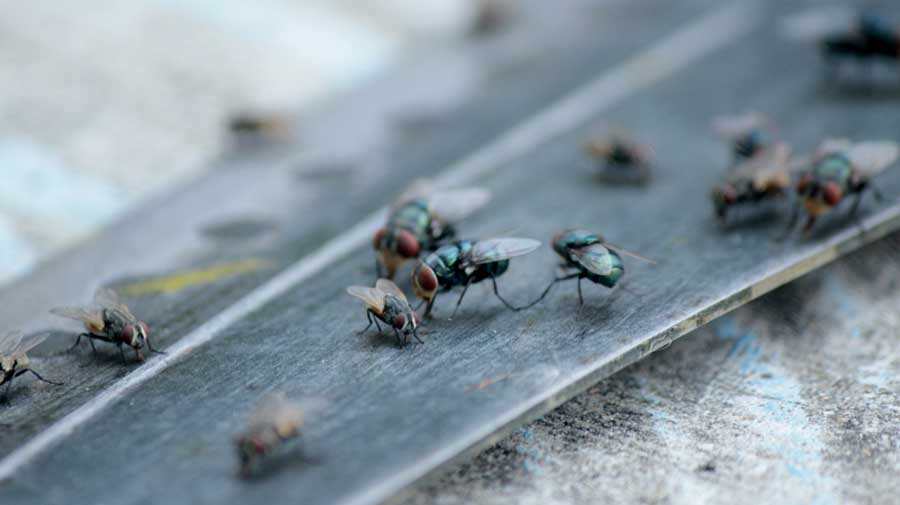 The researchers have found that nine species of chironomids — small flies that look somewhat like mosquitoes but do not bite — in India and Israel harbour Vibrio cholera 01, a group that produces the cholera toxin and serious disease.