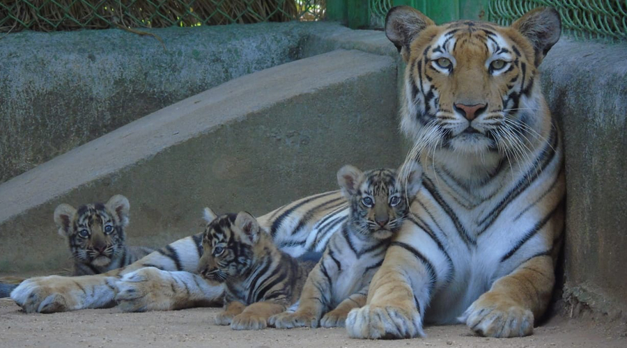 Tigress Anushka with her three cubs at Birsa Zoo in Ranchi on Monday