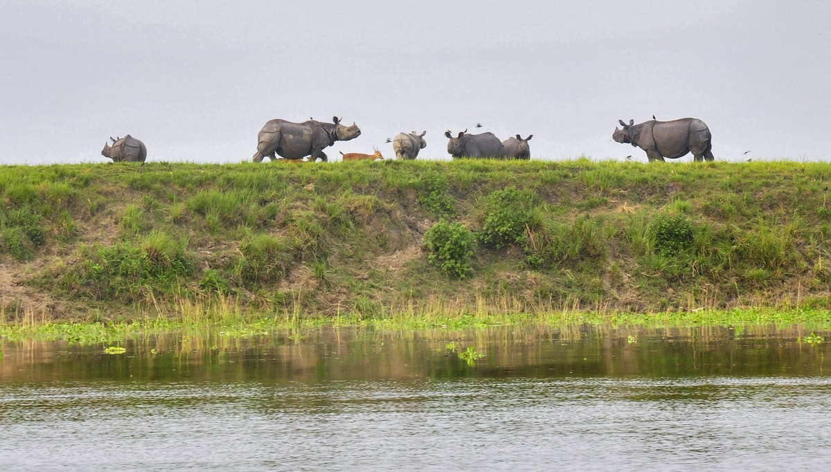 A herd of one-horn rhinoceros takes shelter on higher ground inside the flooded Kaziranga National Park, in Golaghat district, Wednesday, July 1, 2020