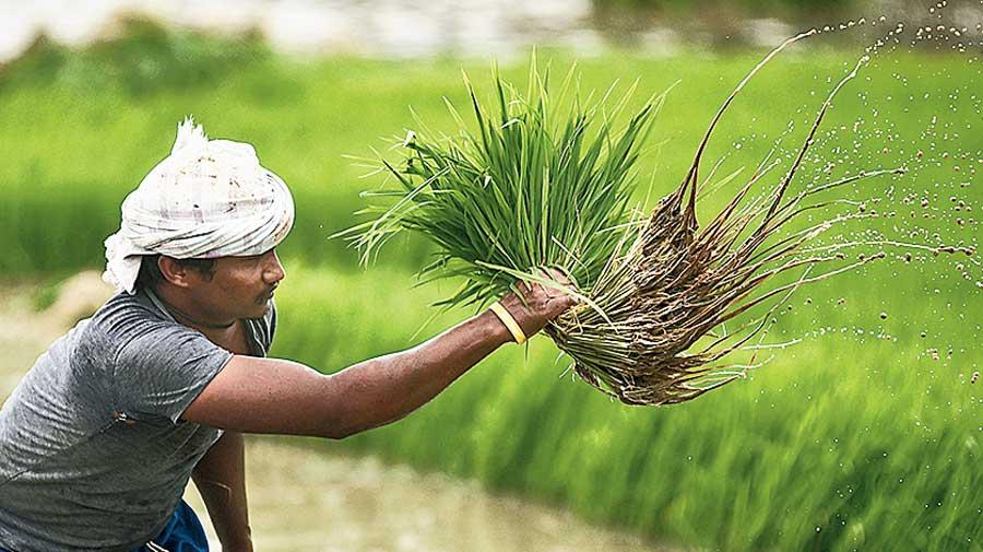 A farmer works on a  paddy field in Vijayawada  on Saturday.