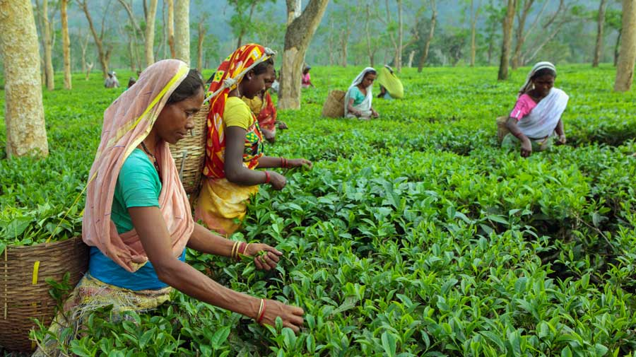 According to provisional data, tea production in Assam fell to 13.21 million kg in April from 44.98 million kg a year ago.