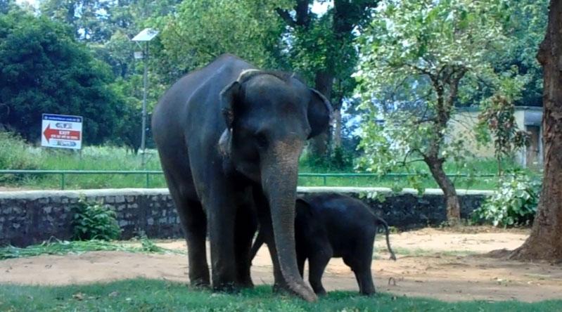 Foster mother Lakhi Rani with Nanhey Samrat at Birsa Zoo