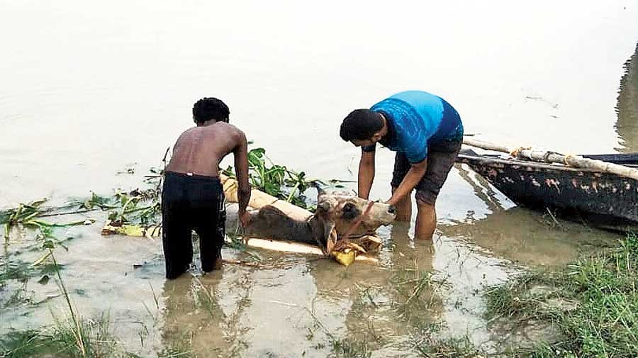 A cow being rescued from a riverine stretch in Murshidabad