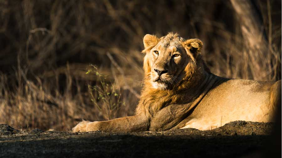 The hurdles to the idea of relocation of the Gir lions are cultural and political rather than scientific