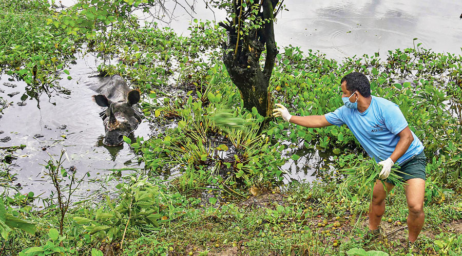 An official tries to feed a rhino resting near National Highway 37 after straying from the flood-affected Kaziranga  National Park in Assam on Saturday. At least 96 animals, including seven rhinos, have drowned. Since end-May, as many as 53 lakh people in 30 of the 33 districts in Assam have been affected by the floods.
