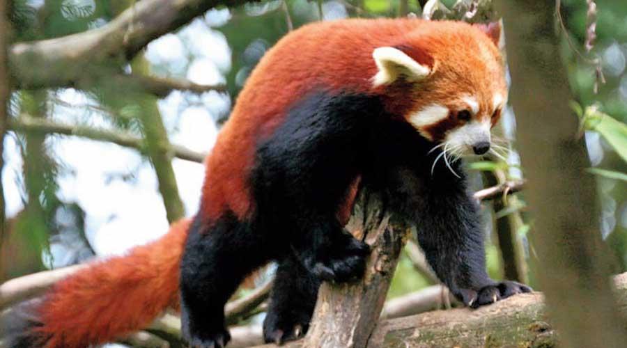 A Himalayan red panda  at the Padmaja Naidu Himalayan Zoological Park in Darjeeling