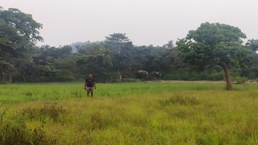 Elephants at a farm in Chandil forest range