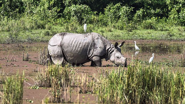 One-horned rhinos wade through a flood-affected area at Kaziranga National Park in Golaghat district on Tuesday.