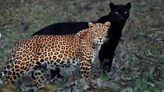 The internet is delighted with a photograph of a black panther and a leopardess couple shot by an Indian wildlife photographer.