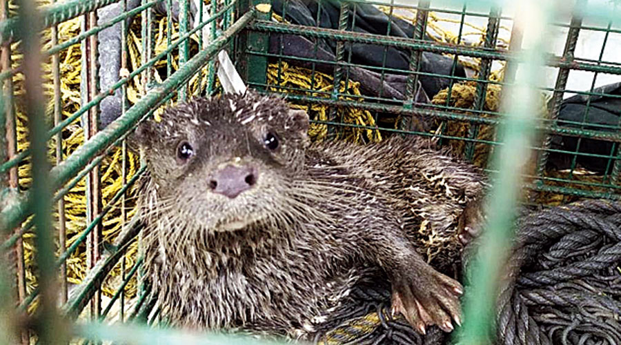 The otter after the rescue.