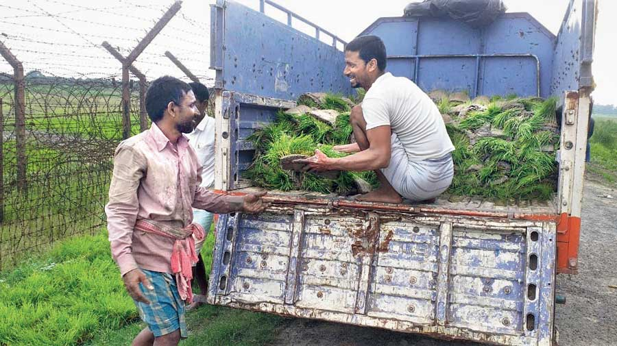 Farmers unload bunches of paddy seedlings