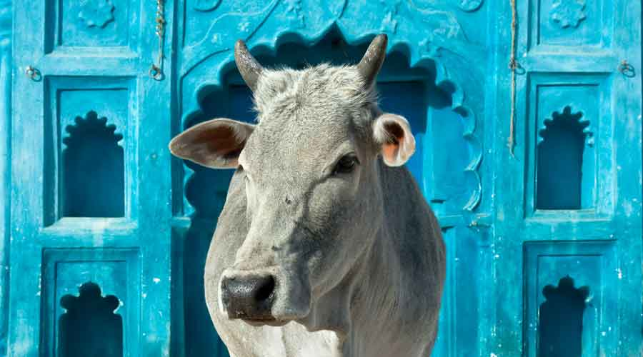 An action plan will be implemented for increasing the use of cow dung cakes