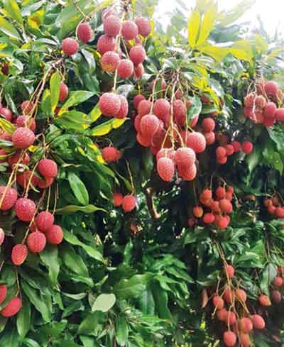 Some of the best lychees, sweetest mangoes and plump cherries are found in Sanjeevani Organics farms, Kumaon, in summer