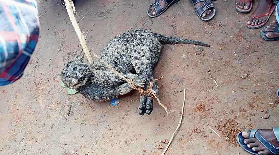The carcass of the fishing cat, clicked by a resident who shared the picture  with an animal rights activist.  A team of foresters went to the village but could not find the carcass