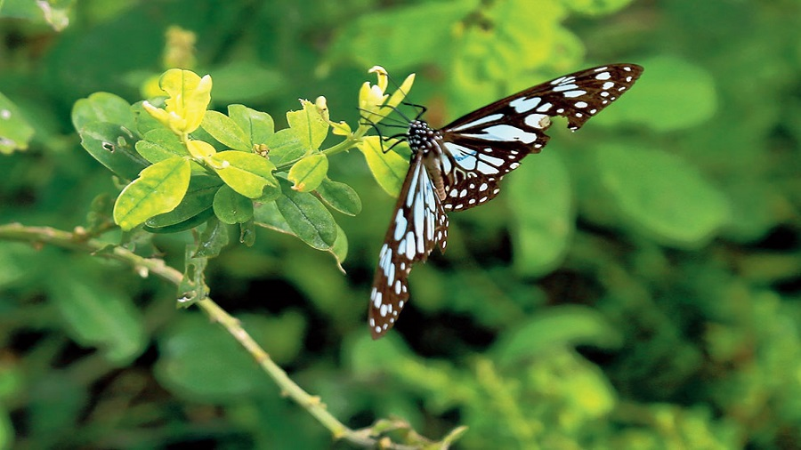 A blue Tiger butterfly perches on a favourite plant at Eco Park