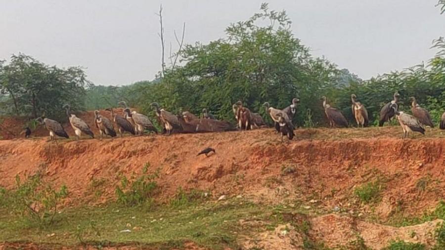 The vultures in Koderma.