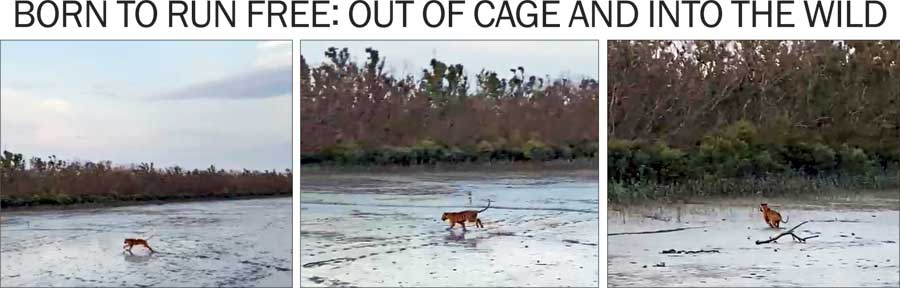 A tiger that was captured on Tuesday evening is set free from a trap cage on a trawler on the Thakuran river in the Sunderbans on Wednesday evening. The tiger ran across the river bed during low tide, into  the thick forest on the other side. Forest officials said it was the same tiger that had strayed into a village in the Sunderbans on Monday evening.