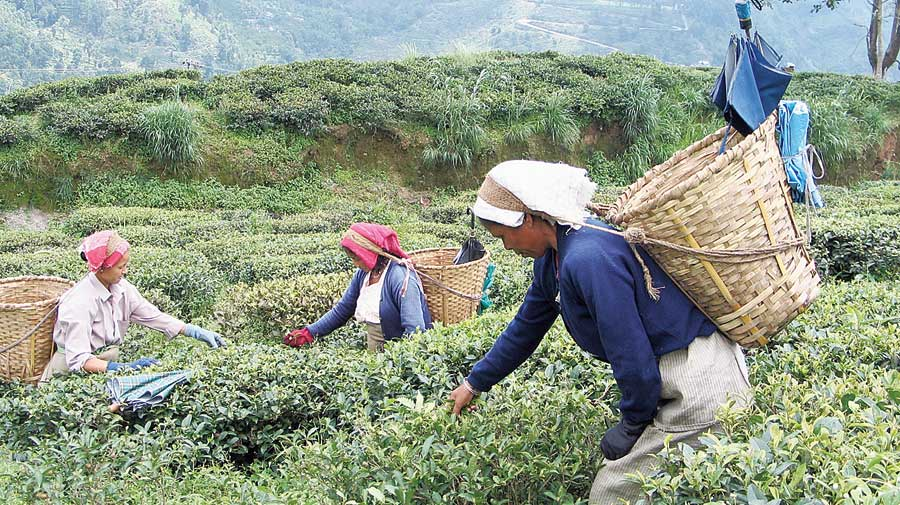 Tea workers on a Darjeeling estate. With migrant workers coming back to villages — more than 20,000 people returned to the hills because of the pandemic — the Darjeeling tea industry was hoping that their problem of labour supply lagging behind demand would be solved.