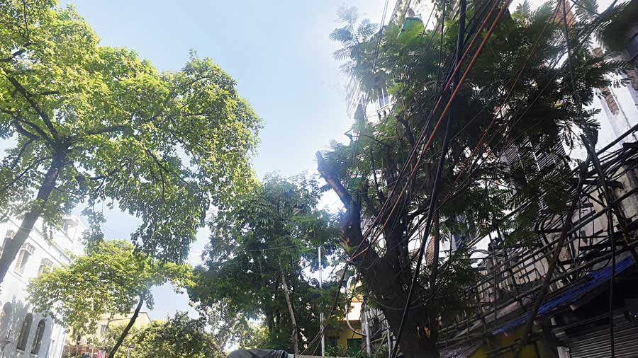 The head load of a tree along SN Banerjee Road has shifted towards the side of the building because of unscientific trimming. The tree will get heavier on this side. Trimming the tree this way has distorted its balance.