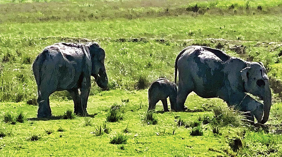 An elephant and its calf at Kaziranga National Park in Assam on Wednesday.