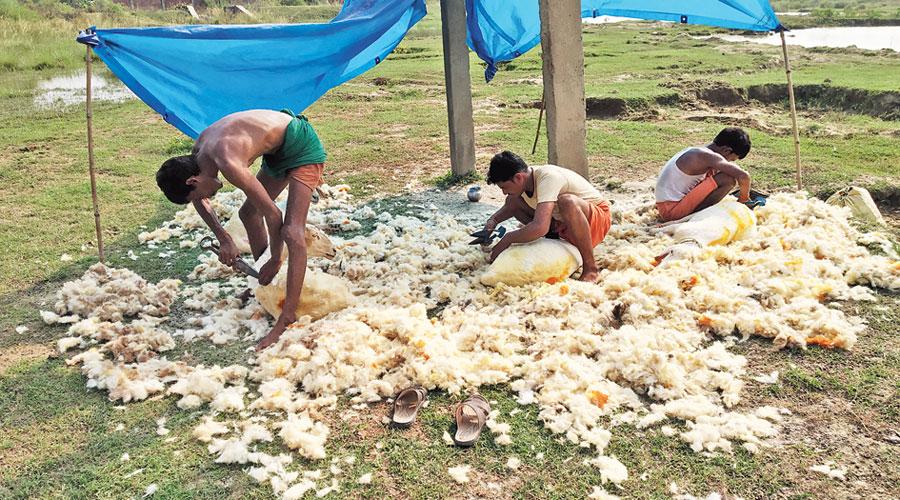 Shepherds shear their sheep in Nalanda district