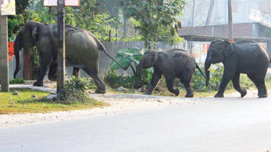Under watch: A herd of wild elephants in Dhupguri town in Jalpaiguri district