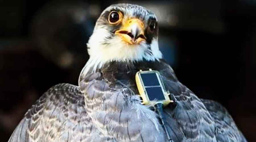 Irang, one of the Amur falcons which returned to Tamenglong