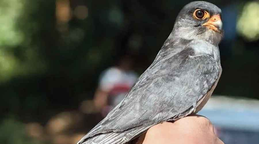 Chiulon, another Amur falcon which returned to Tamenglong