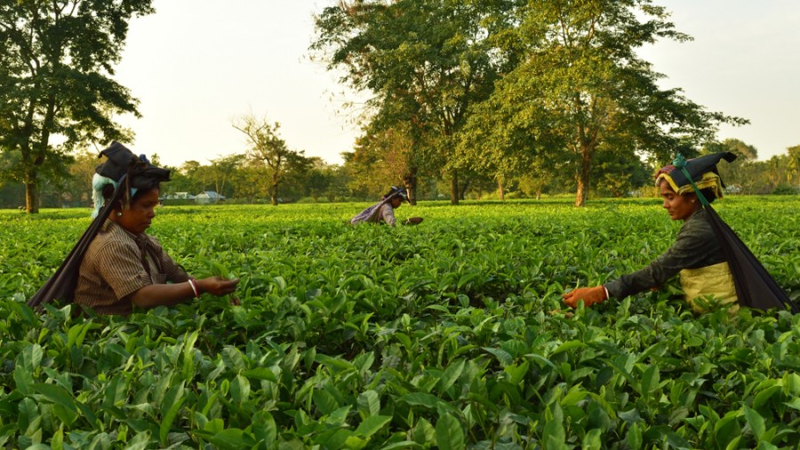 North Bengal has around 270 tea estates, which employ close to three lakh workers