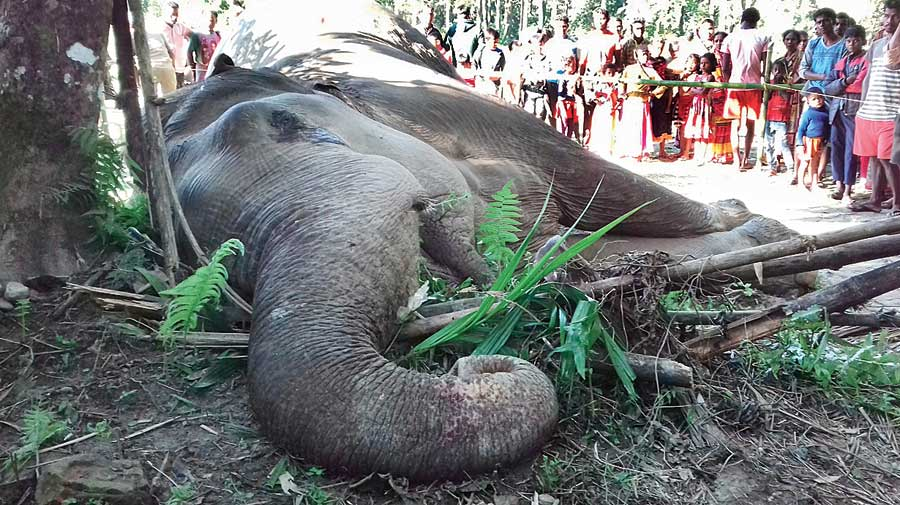 The carcass of the elephant at Kherkata in Nagrakata  block of Jalpaiguri.