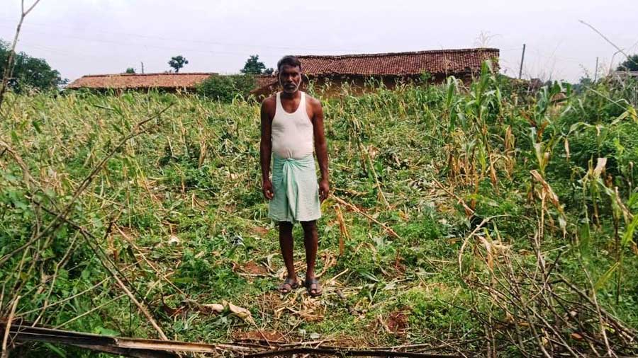 A villager stands beside a maize field destroyed by the elephants