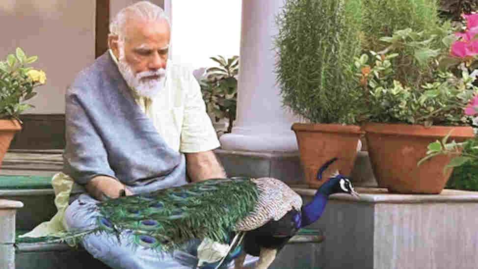 Modi feeding peacocks at his residence.