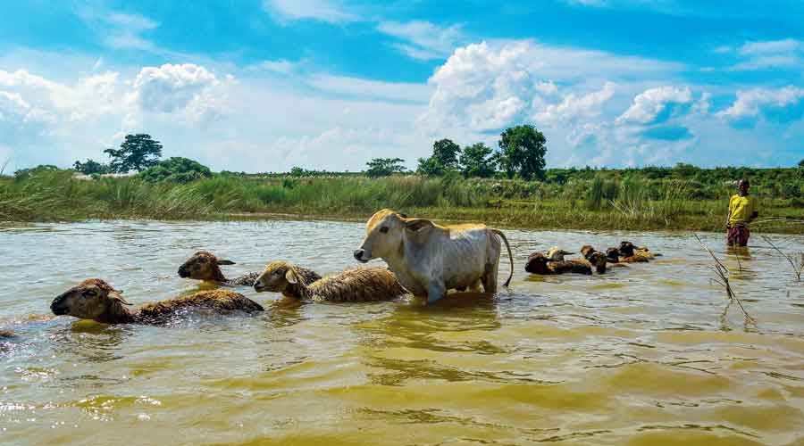 Sheep and cows cross the Ajay river in Birbhum's Rajatpur on Tuesday
