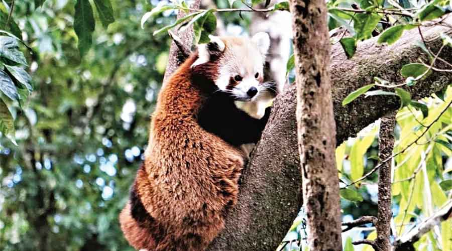 A Himalayan red panda at the Singalila National Park in Darjeeling hills