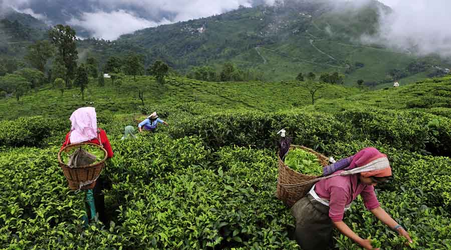 Around 10 million kilos of orthodox tea are produced by 87 tea estates in the Darjeeling hills, most of which is exported and fetches excellent prices