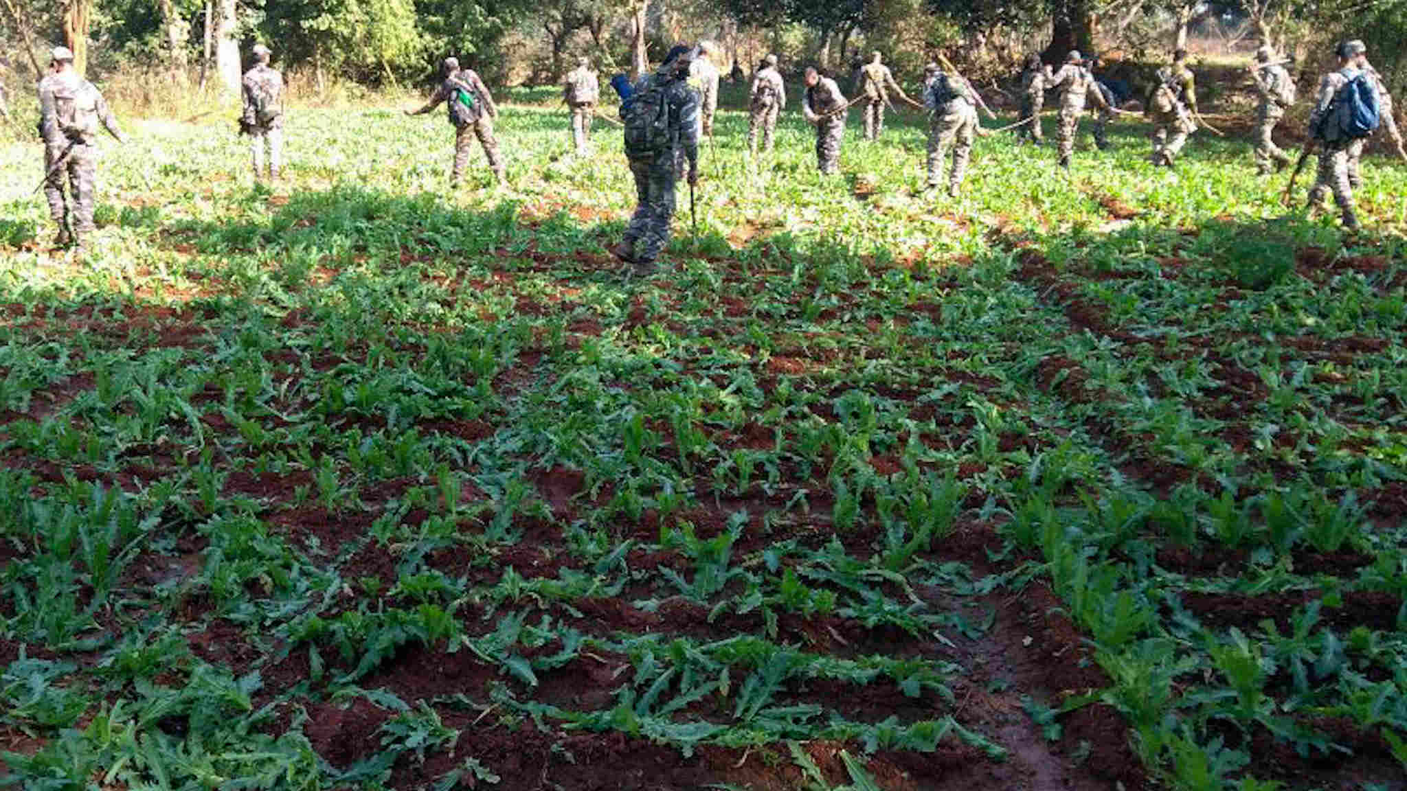 Police destroying opium at a farm in Khunti.