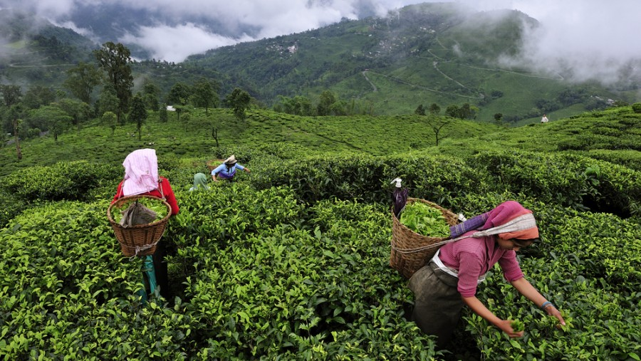 For tea estates of Darjeeling, Sikkim, Himachal Pradesh and Uttarakhand, the last day for plucking is December 5 while the last day for processing the leaves is December 7.