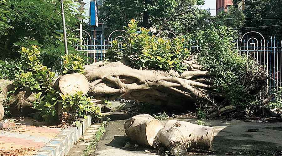 Ttunks of tress uprooted by Cyclone Amphan lay scattered in the Rabindra Sarobar premises