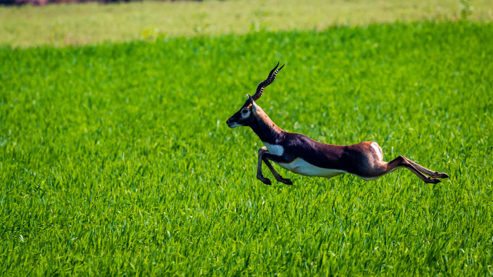 The Blackbuck is a near threatened species in India.